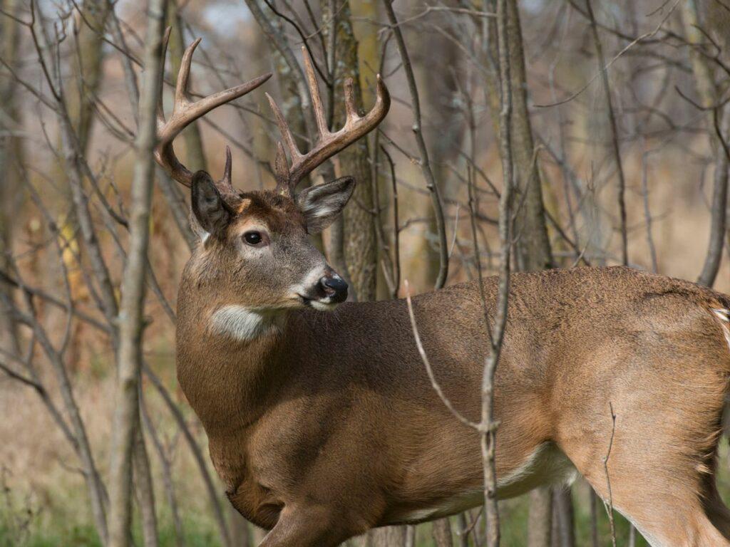 A buck walking through the woods during hunting season.
