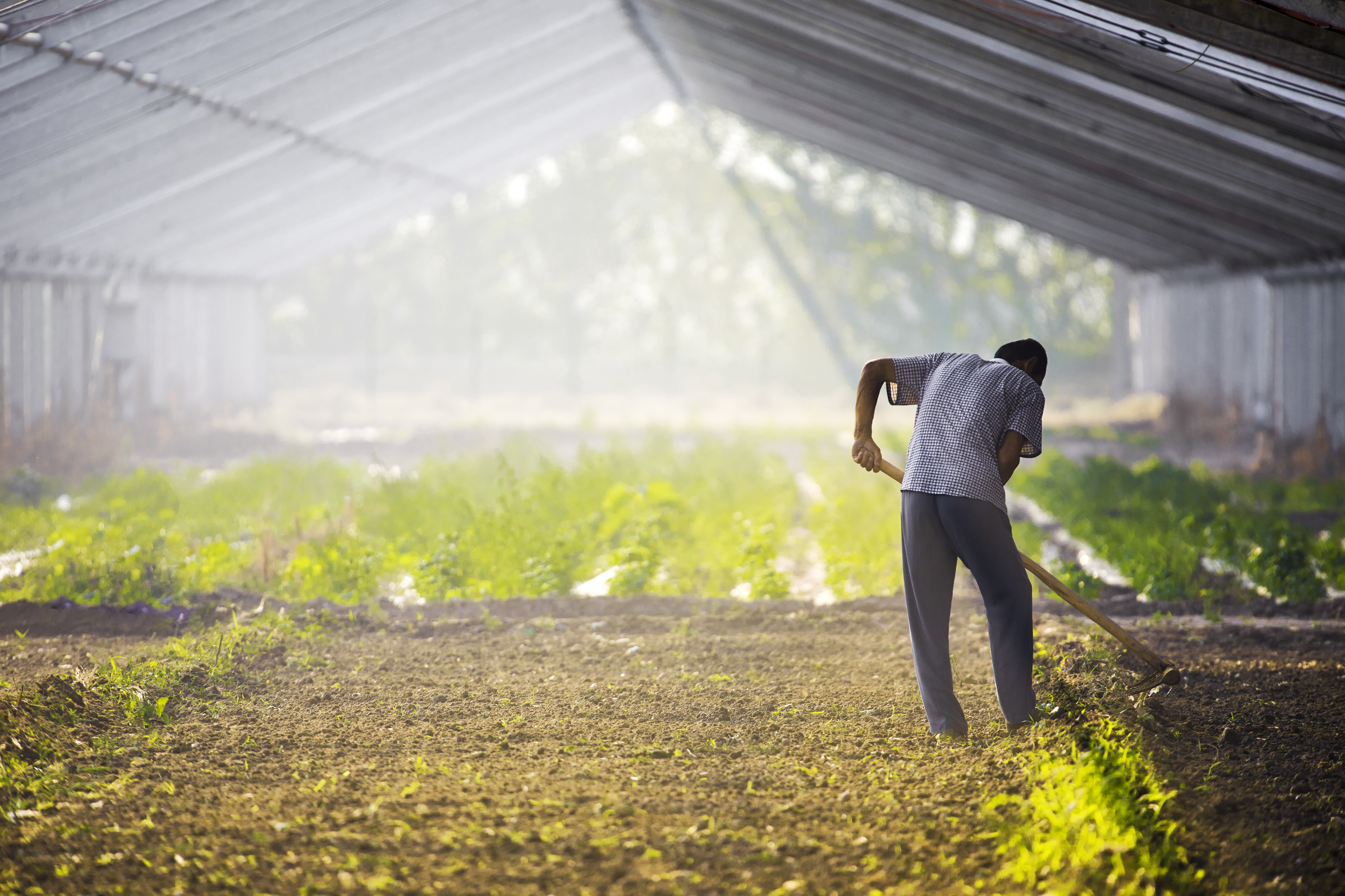 A farm worker tends to crops in a large greenhouse.